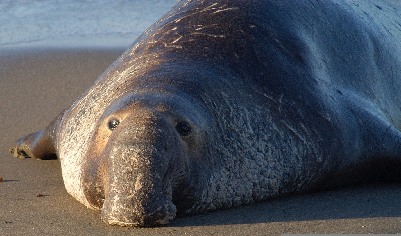 My new favorite animal, the elephant seal, and the new mascot for my not-so-top-secret, but definitely awesome club